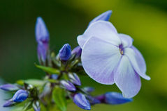 Blooming blue phlox. And lots of buds closeup Stock Photos