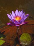 Blooming Blue Purple Lotus ...symbol For Eastern Mystic Traditions Royalty Free Stock Image