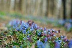 Blooming blue scilla grows through the foliage stock photos