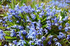Blooming Blue scilla or Siberian Squill Scilla siberica with first honey bees. Selective focus. Blooming Blue scilla or Siberian Squill Scilla siberica with Royalty Free Stock Image