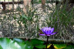 Blooming Blue and Violet Nymphaea Lotus with Blurred Background stock images