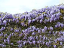 Blooming blue Wisteria Royalty Free Stock Photo