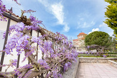 Blooming blue Wisteria sinensis on fence in Greece. Blooming blue Wisteria sinensis on fence in Kefalonia Greece Royalty Free Stock Image