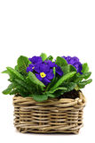 blooming blue and yellow primula's Stock Images