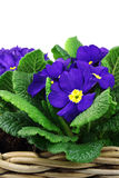 Blooming blue and yellow primula's royalty free stock photo