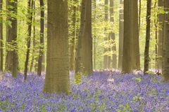 Blooming bluebell forest of Hallerbos in Belgium Stock Photo