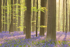 Blooming bluebell forest of Hallerbos in Belgium Royalty Free Stock Photo