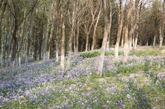 blooming Bluebells in forest Royalty Free Stock Photography