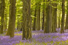 Blooming bluebells in Northern Ireland Stock Photography