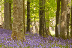 Blooming bluebells in Northern Ireland Royalty Free Stock Photos