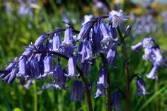 Blooming bluebells Royalty Free Stock Photography