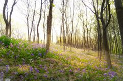 Blooming Bluebells at sunrise light Stock Image