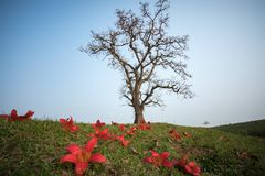 Blooming bombax ceiba tree with falling flower on foreground Royalty Free Stock Photo