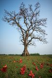 Blooming bombax ceiba tree with falling flower on foreground Royalty Free Stock Image