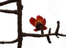Blooming Bombax Lat.- Bombax Ceiba Stock Images