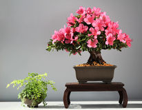 Blooming bonsai azalea. From exhibition Stock Photo