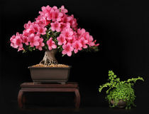 Blooming bonsai azalea. From exhibition Royalty Free Stock Photos