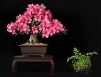 Blooming bonsai azalea royalty free stock photos