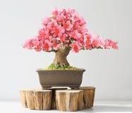blooming bonsai azalea Royalty Free Stock Image