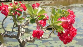 Blooming bonsai tree near pond. Beautiful small bonsai tree with red flowers growing near calm pond with waterlilies in. Thai style oriental traditional garden stock video footage