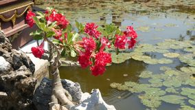 Blooming bonsai tree near pond. Beautiful small bonsai tree with red flowers growing near calm pond with waterlilies in. Thai style oriental traditional garden stock footage