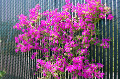 Blooming Bougainvillea Royalty Free Stock Photos