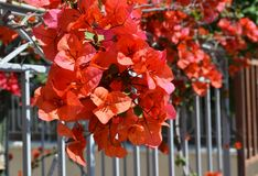 Blooming bougainvillea flowers at Sinfos island Cyclades Greece royalty free stock photography