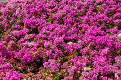 The blooming bougainvillea in garden Royalty Free Stock Images