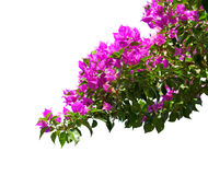 Blooming Bougainvillea. Stock Photography