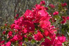 Blooming Bougainvillea Stock Photo