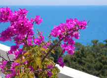 Blooming bougainvilleas against the sea Royalty Free Stock Photography