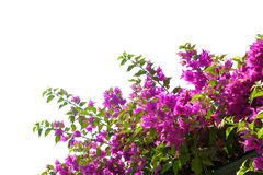 Blooming bougainvilleas. Royalty Free Stock Photography