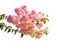 Blooming bougainvilleas. Royalty Free Stock Images