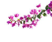 Blooming bougainvilleas. Stock Photo