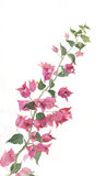 Blooming bougenvillea branch watercolor painting. The hand drawn watercolor of a bougenvillea branch in bloom Stock Images