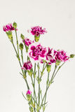 Blooming bouquet of carnations. Three stems of blooming carnations flower on white background Royalty Free Stock Photo