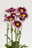 Blooming bouquet of gazania. With dark red and white pedals, with green stems on white background Stock Images