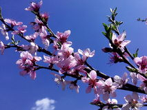 Blooming branch of реасh at the sky Royalty Free Stock Photography