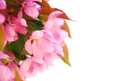 Blooming branch Royalty Free Stock Photo