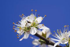 Blooming branch Stock Image