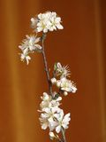 Blooming branch. Blooming plum branch royalty free stock photos