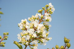 Blooming branch. A blooming branch against the background of a  blue  sky Stock Image