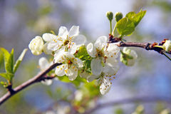 Blooming branch of aple tree stock image