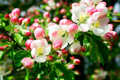A blooming branch of apple tree. Fresh vivid and delicate blossom of apple tree Stock Image