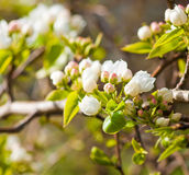 Blooming branch of apple tree Stock Images