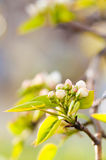 Blooming branch of apple tree Stock Photos