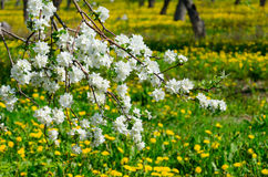 Blooming branch of apple tree in garden. On blurred background of yellow dandelions Stock Image