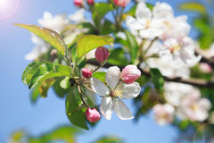 A blooming branch of apple tree Stock Photo