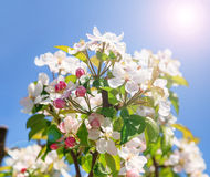 A blooming branch of apple tree Royalty Free Stock Photos