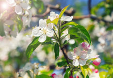 A blooming branch of apple tree Stock Images